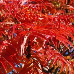 Sorbus Olympic Flame