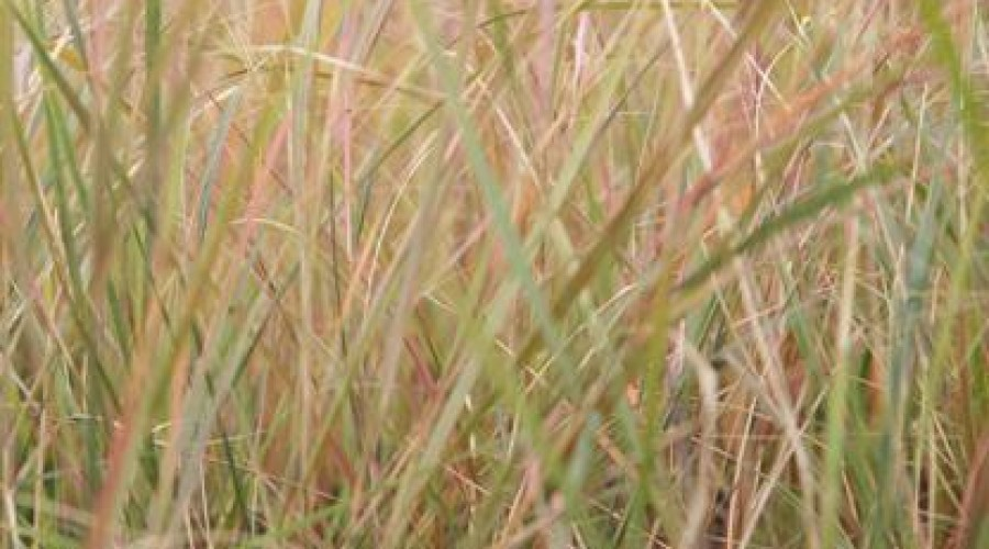 Stipa Arundinacea