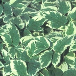 Aegopodium Podagaria Variegata