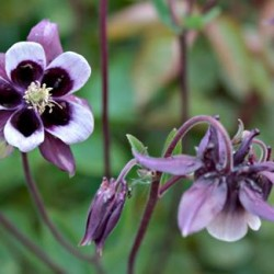 Aquilegia Vulgaris William Guinness