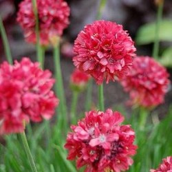 Armeria Joystick Red