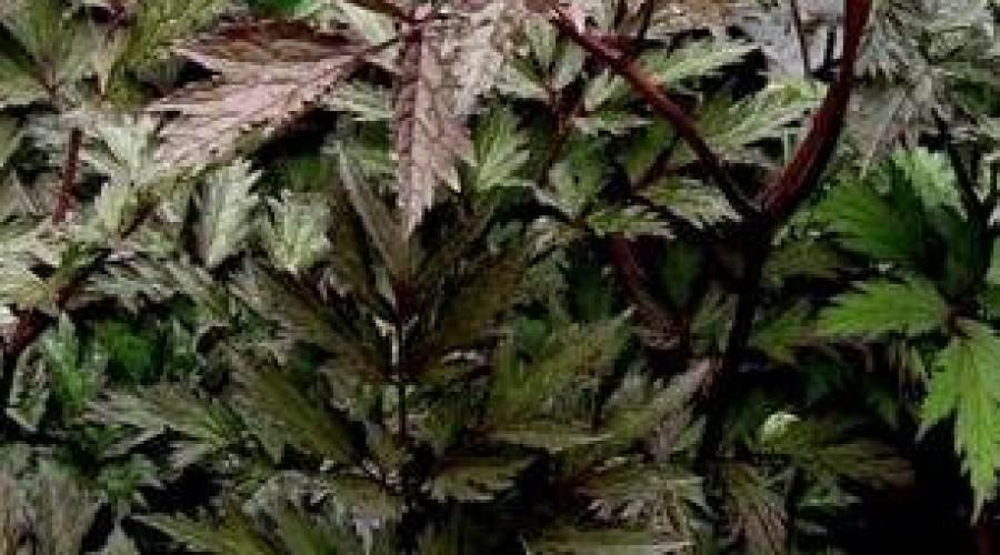 Artemisia Lactiflora Guizhou