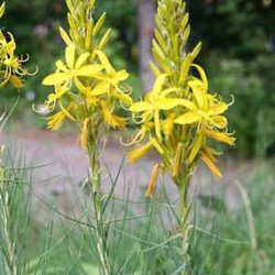 Asphodeline Yellow Candle