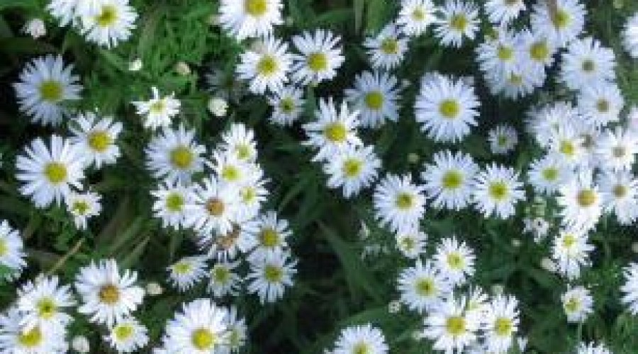 Aster Novi-Belgii Snow Cushion