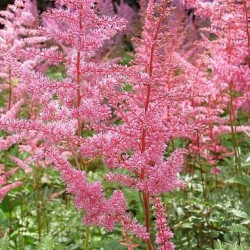 Astilbe Japonica X Europa
