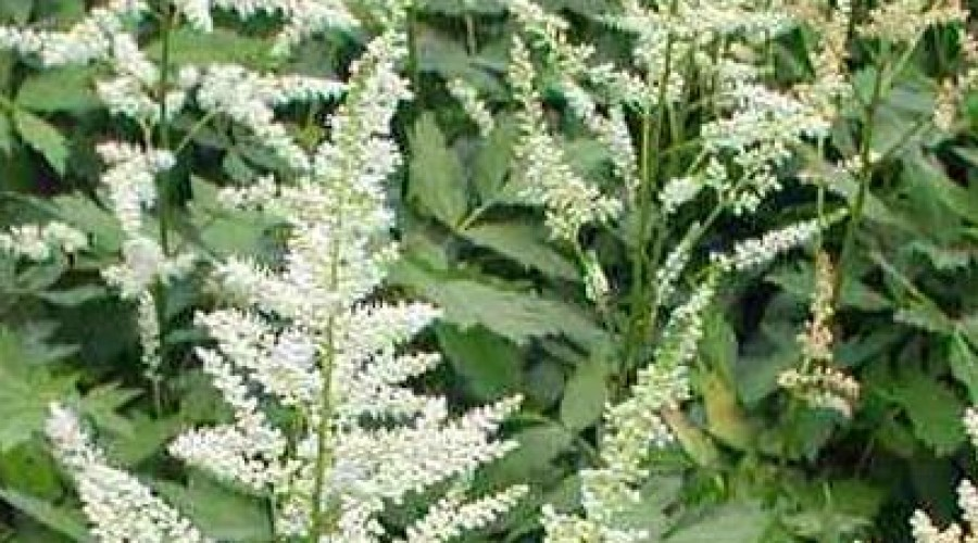 Astilbe Japonica X Washington