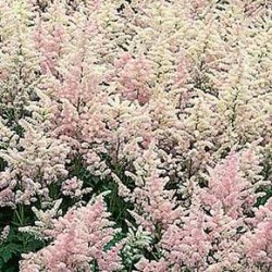 Astilbe X Rosea Peach Blossom