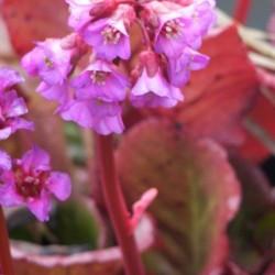 Bergenia Cordifolia Winterglut