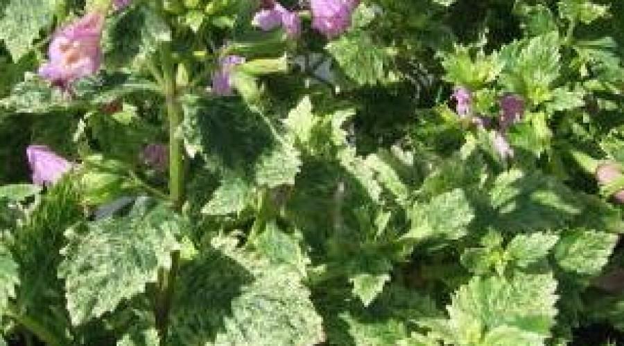 Calamintha Grandiflora Variegata