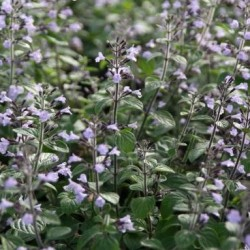 Calamintha Nepeta Blue Cloud