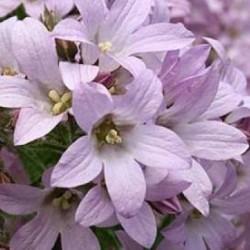 Campanula Lactiflora Dwarf Pink