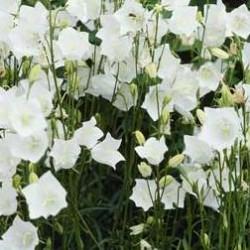Campanula Persicifolia Takion White