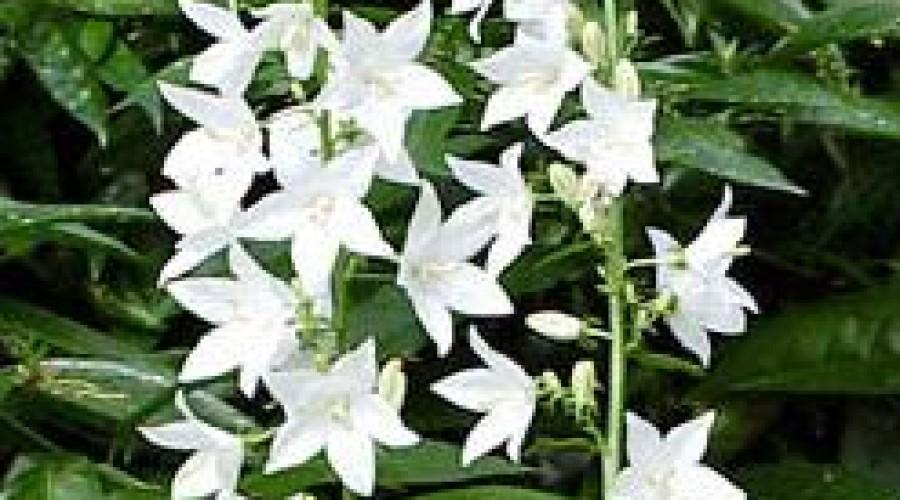 Campanula Pyramidalis Alba