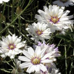 Catananche Caerulea Alba
