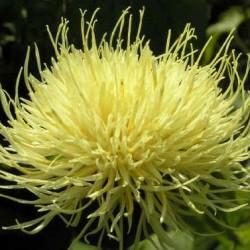 Centaurea Ruthenica