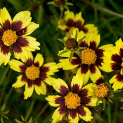 Coreopsis Big Bang Cosmic Eye