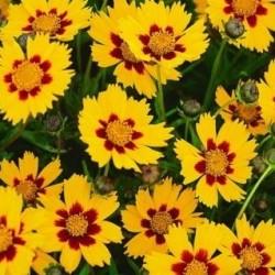 Coreopsis Grandiflora Domino