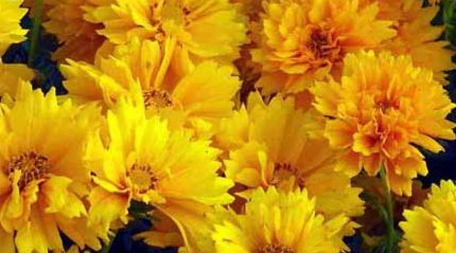 Coreopsis Grandiflora Sunray