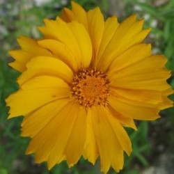 Coreopsis Pubescens Sunshine Superman