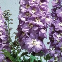 Delphinium Fountain Lavender