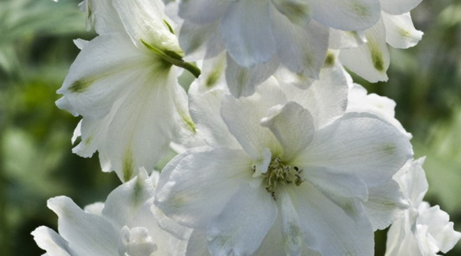 Delphinium Fountain Pure White