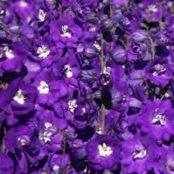 Delphinium Millennium Purple Passion