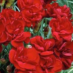 Dianthus Desmond
