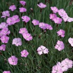 Dianthus Duchess Of Fife