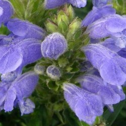 Dracocephalum Argunense Fuji Blue