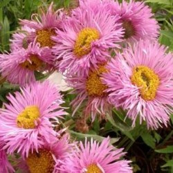 Erigeron Pink Jewel