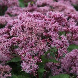 Eupatorium Atro. Purple Bush