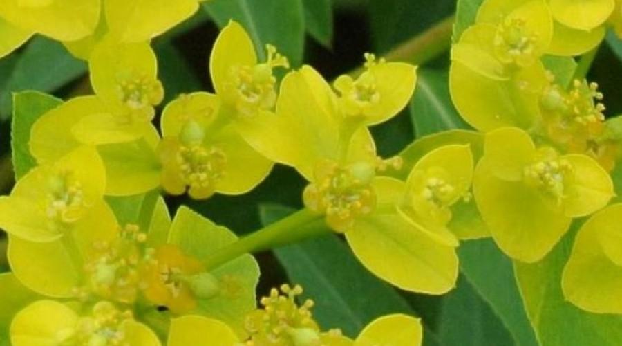 Euphorbia Cornigera Wallichii