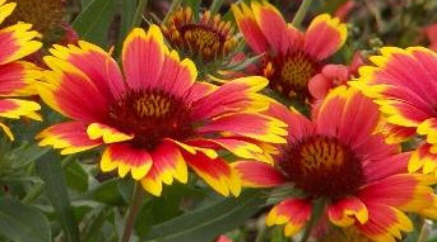 Gaillardia X Grandiflora Dazzler