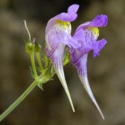 Linaria Triornithophora