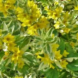Lysimachia Puncata Alexander