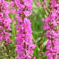 Lythrum Salicaria Morden Pink
