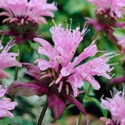 Monarda Beauty Of Cobham