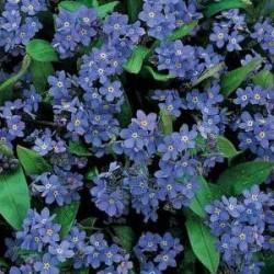 Myosotis Indigo Blue