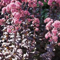 Sedum Spectabile Purple Emperor