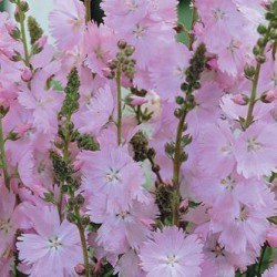 Sidalcea Rosaly