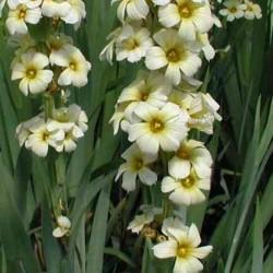 Sisyrinchium Striatum