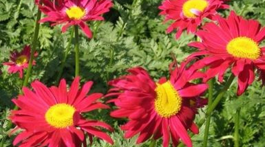 Tanacetum Coccineum Robinsons Red