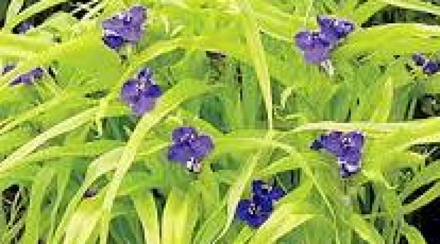 Tradescantia  Blue And Gold