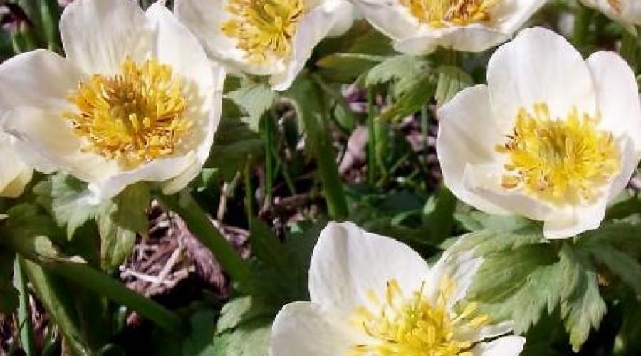 Trollius Laxus x albiflorus
