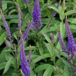Veronica Spicata Total Eclipse