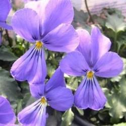 Viola Corsica Little Gem
