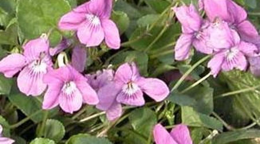 Viola Rupestris Rosea
