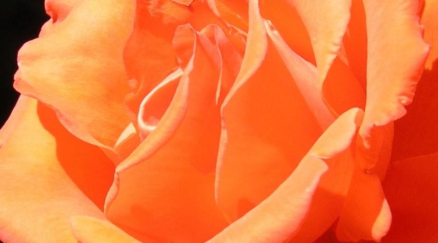 Alexander Hybrid Tea Rose