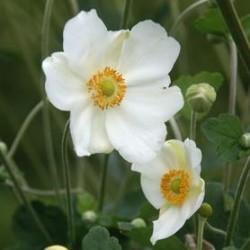 Anemone Hybrida Andrea Atkinson