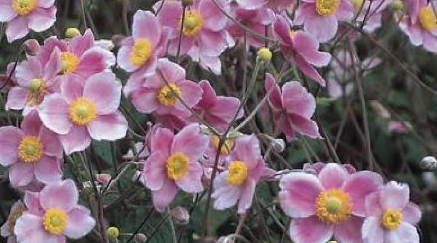 Anemone X Hybrida Robustissima